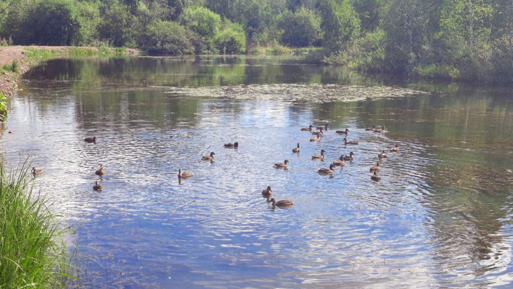 Утки в Кизеловском пруду